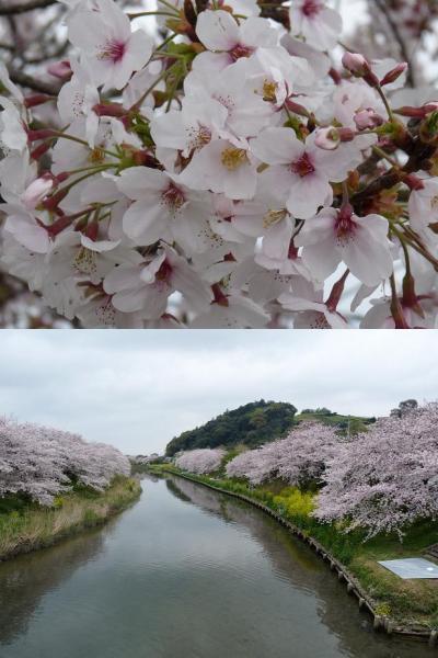 勝間田川の桜がきれいだね。(春を探しにちょっとドライブ①)