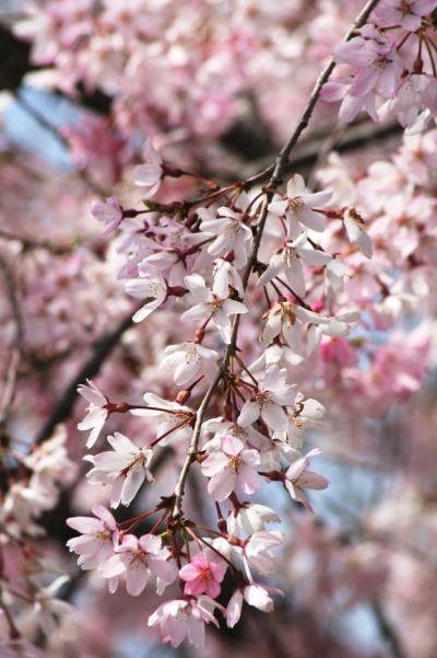 2009春、桜の季節の清洲城(1):4月5日(1):JRで名古屋駅から清須駅へ、清州駅から清州城へ、染井吉野、紅枝垂れ桜
