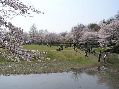 桜満開☆☆☆けいはんな記念公園
