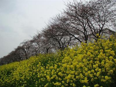 青毛堀川桜堤・・・さくらを求めて散歩