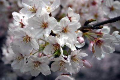 神田川の桜に誘われて春の香りめぐり