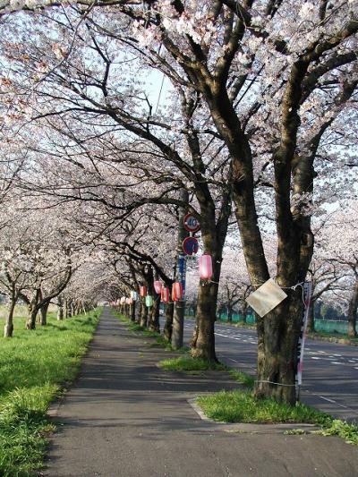 久喜市上清久の桜通り・・・三列の桜並木は圧巻