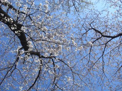 春爛漫 桜の花物語