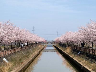 稲沢市平和町のさくら並木
