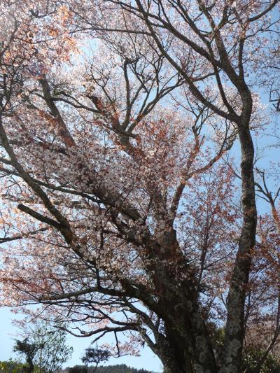 2009年桜だより◆三多気の桜(三重県津市美杉町)