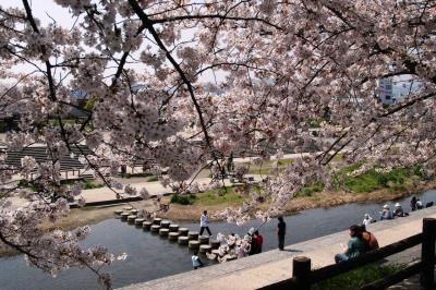 高槻市・芥川桜堤公園のサクラ