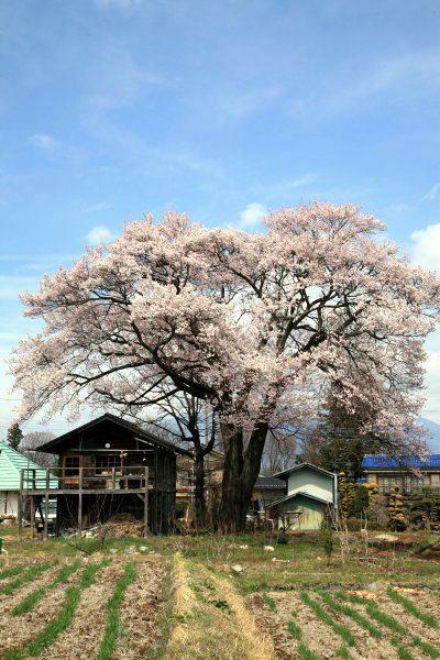 車で山梨-3 ★北杜市・山高の一本桜
