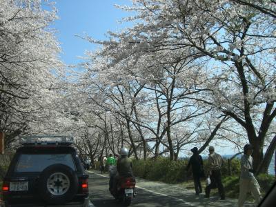 海津大崎の桜☆満開☆