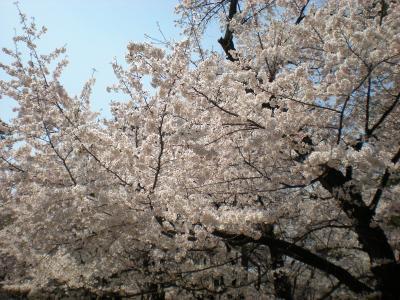 お花見~大宮公園