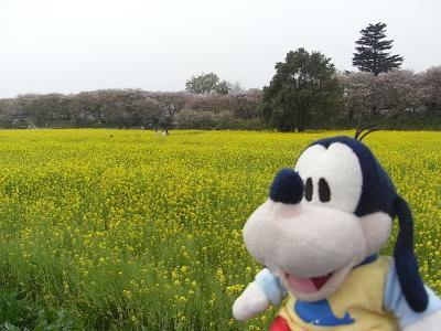 グーちゃん、幸手/権現堂に花見に行く!(グー散歩/桜はどこなの?編)
