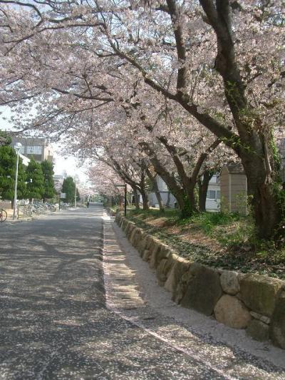 山口大学の桜が満開でした