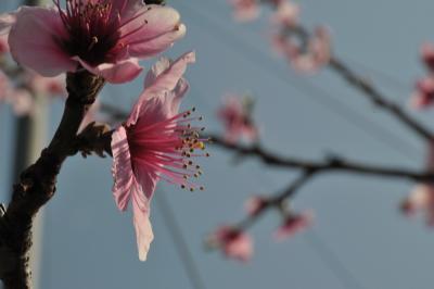 桃桜杏 1 一宮御坂