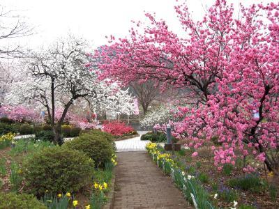 山梨:中央道の釈迦堂PAは花盛り