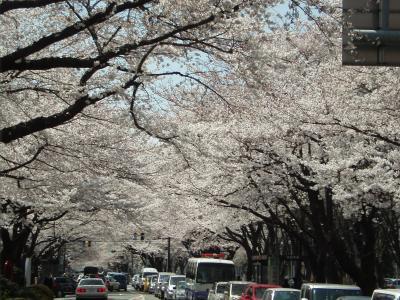 桜満開 相模原