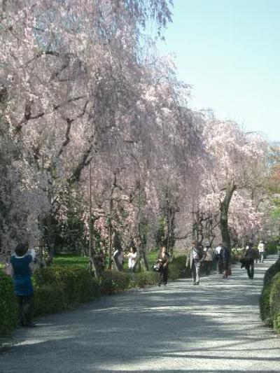 二条城の紅枝垂桜も見事でした