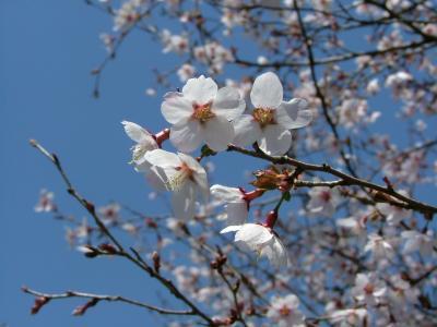 2009年4月 春の箱根 箱根湿生花園 後編