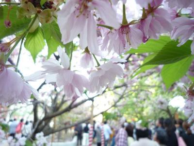 桜のトンネル~♪