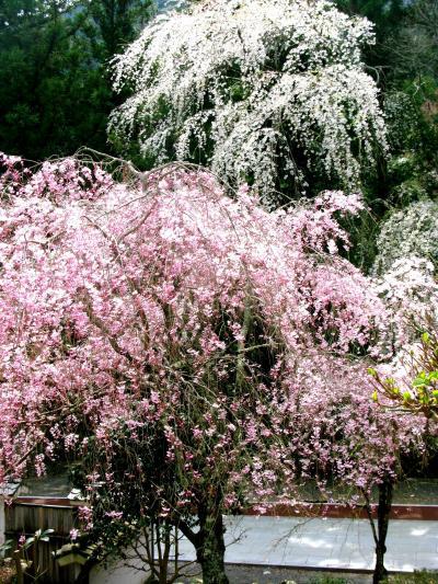 川沿いの身延山参詣道は花に包まれて ☆日蓮聖人の聖地を訪ねる