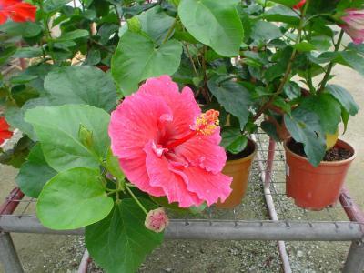 常春の楽園13: キャメロン・ハイランド 「植物園・MARDI」
