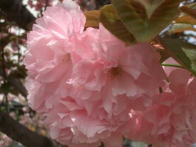 八重桜のお勉強成果を聞いてください