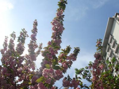 2009年4月 ~ 造幣局 桜の通り抜け ~