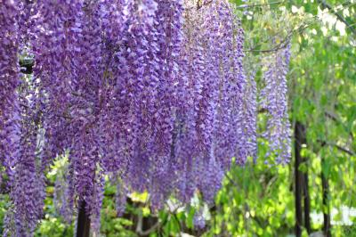 紫の香りにつつまれて
