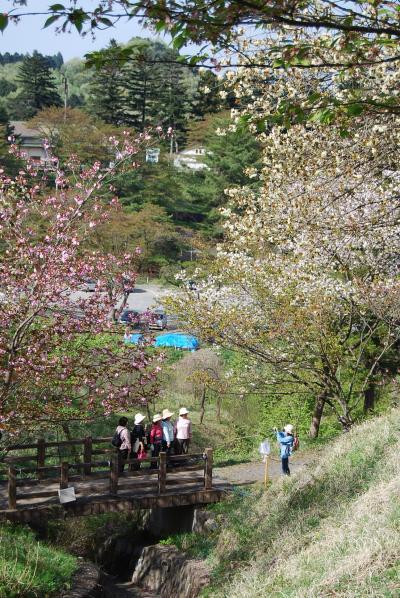 春の森の妖精を求めての美の山・長瀞ハイキング?長瀞・通り抜けの桜