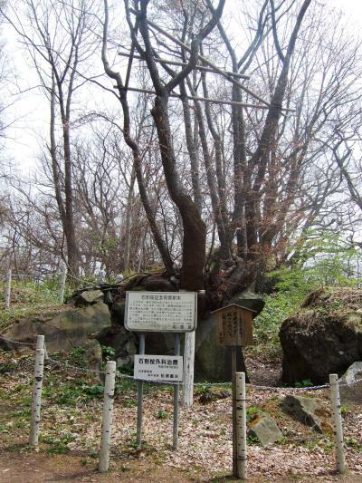 2009.5 『有珠善光寺』の石割桜…にはまだまだ早かった!