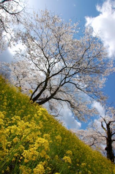 喜連川の桜です。