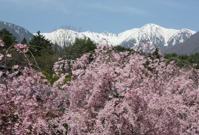 南信州の桜?(光前寺のしだれ桜とすいせん)
