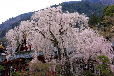 身延山久遠寺の枝垂れ桜