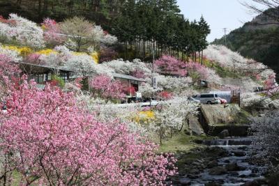 南信州の桜を求めて?(蔵沢寺と中沢花桃の里)