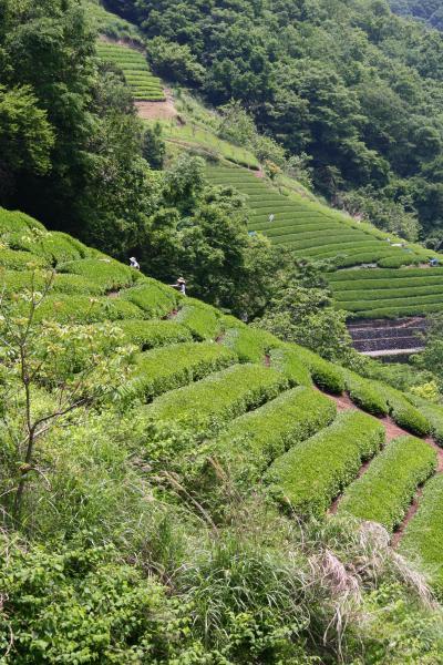 """山の斜面に広がる """"藤野町の茶畑"""" を訪ねて!"""