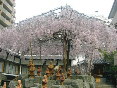 2008 京の桜巡り ? 【 あちこち編 】