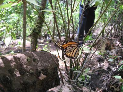 すごい数のモナルカ蝶