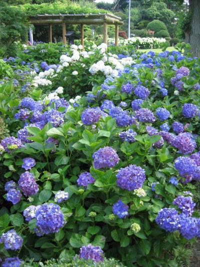 【茨城ノスタルジー】 保和苑のあじさいとレトロチックな谷中の散策