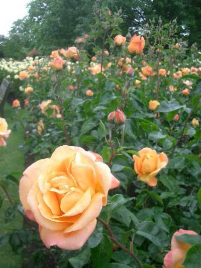 Regent's Park でバラを満喫。数の多いこと。