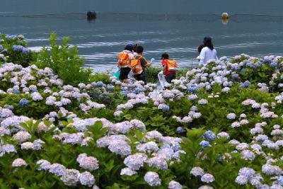 2009紫陽花シリーズ(7)余呉湖