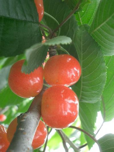 仁木のさくらんぼ園でさくらんぼを1年分いただきました