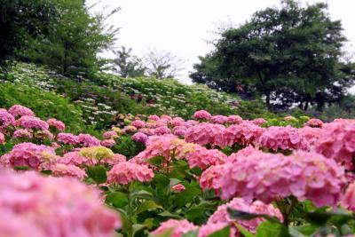 「相模原北公園」に薔薇と紫陽花を観に行く ?