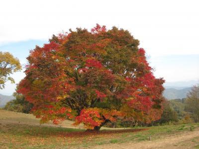 松本城と高峰高原の大カエデの紅葉を楽しんで