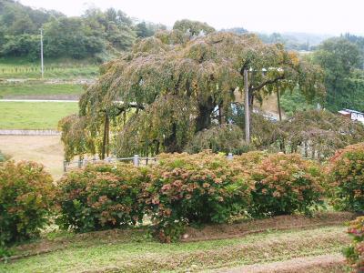 ♪<三春の温泉と三春の滝桜>♪