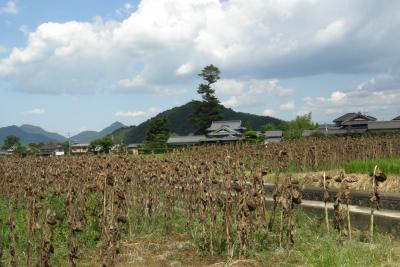 まんのうの向日葵刈り取り作業