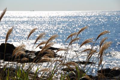 南房総 白浜  「海岸沿いのススキ」