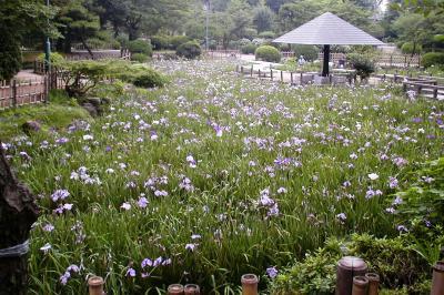 2003梅雨、鶴舞公園の紫陽花(2完)