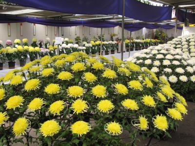 錦なす花の終わりの菊だより(2)川越喜多院の菊まつり・2009