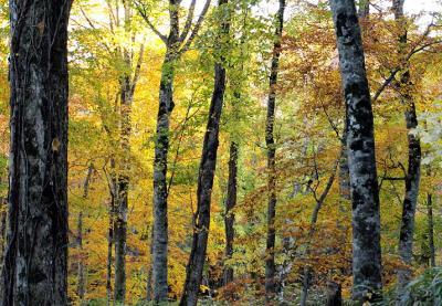歩こう!黄葉の黒松内フットパス2009~西沢→寺の沢川→歌才ブナ林→歌才森林公園を歩いてハシゴする