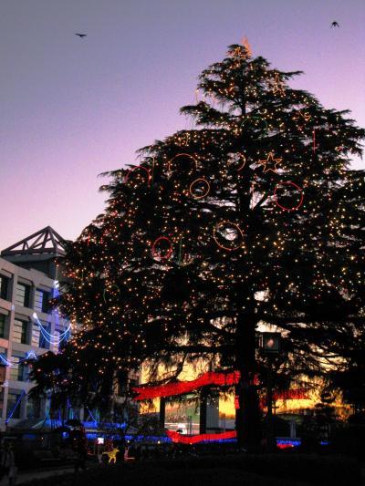 中山競馬場-4 クリスマス・イルミネーション輝く ☆ヒマラヤスギは20m超