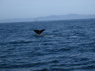 '09-10南島ワイナリーめぐりと野生動物の旅⑦カイコウラでクジラとイルカ ウォッチング!