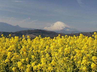 吾妻山公園・菜の花